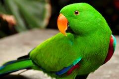 Eclectus Papagei Lizenzfreies Stockbild