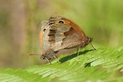 Ein hübsches fügendes Paar Wiesen-Brown-Schmetterling Maniola-jurtina, das auf Adlerfarn im Waldland hockt Stockfoto