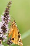 Ein hübsches quadripunctaria f Jerseys Tiger Moth Euplagia lutescens, die auf wilder Minze nectaring sind lizenzfreies stockfoto
