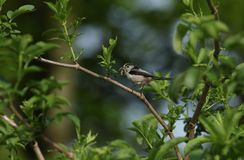 Ein hübsches Schwanzmeise Aegithalos-caudatus hockte auf der Niederlassung eines Baums mit einem Schnabel, der von den Insekten,  Lizenzfreie Stockfotos