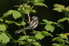 Ein hübsches Schwanzmeise Aegithalos-caudatus hockte auf der Niederlassung eines Baums mit einem Schnabel, der von den Insekten,  Stockbild