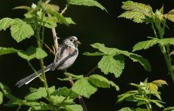 Ein hübsches Schwanzmeise Aegithalos-caudatus hockte auf der Niederlassung eines Baums mit einem Schnabel, der von den Insekten,  Stockfotografie