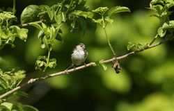 Ein hübsches Schwanzmeise Aegithalos-caudatus hockte auf der Niederlassung eines Baums mit einem Schnabel, der von den Insekten,  Lizenzfreies Stockfoto