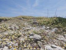 Ein Hügel bedeckt mit weißen Kamillenblumen Stockfotografie