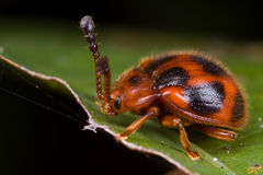 Ein haariger roter Käfer Stockfoto