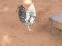 Ein Hahn Stockbild