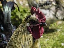Ein Hahn im Hof Stockbild