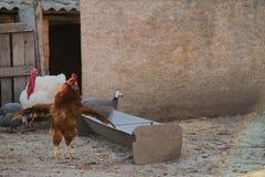 Ein Hahn im Vordergrund in einer ungarischen Ranch Stockbild