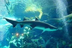 Ein Haifisch schwimmt lizenzfreie stockfotografie