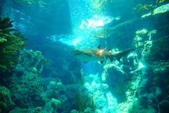 Ein Haifisch schwimmt stockfoto