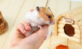 Ein Hamster in den Händen einer Mädchennahaufnahme stockfotos