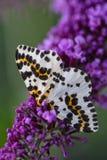 Ein Harlekin auf purpurroter Blume Stockbilder