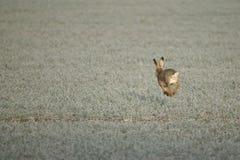 Ein Hase auf einem eisigen Morgen Lizenzfreie Stockfotos