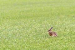 Ein Hase sitzt in einem Gewann, der Gras isst Stockbild