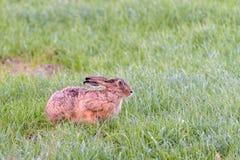 Ein Hase sitzt in einer Wiese Stockfoto