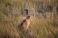 Ein Hase sitzt im trockenen Graslandgras mit Ohralarm Stockfotografie