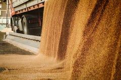 Ein Haufen gerade des geernteten Mais innerhalb eines Behälters Korn gegossenes f lizenzfreies stockfoto