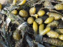Seetang. Ein Haufen Seetang im Wattenmeer Royalty Free Stock Images