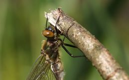 Ein Hauptschuß eines erstaunlichen seltenen eben aufgetauchten flaumigen Emerald Dragonfly Cordulia-aenea, das auf einem Zweig ho lizenzfreies stockbild