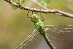Ein Hauptschuß eines schönen eben aufgetauchten Kaiser-Libelle Anax-imperator, das auf einer Niederlassung hockt stockfotos