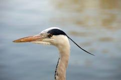 Ein Hauptschuß von Grey Heron - Reiher - im Profil Lizenzfreies Stockfoto