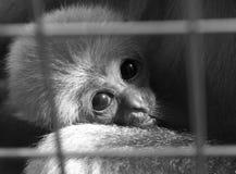 Ein Headshot eines Baby Largibbons hinter den Stangen in Schwarzweiss Lizenzfreies Stockbild