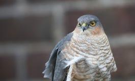 Ein Headshot von einem schönen, wild, Sparrowhawk, Accipiter nisus, hockte auf einem Gartenzaun, der herum nach seiner folgenden  Stockfotos