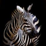 Ein Headshot von eines Burchells Zebra Lizenzfreie Stockfotografie