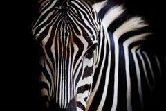 Ein Headshot von eines Burchells Zebra Lizenzfreies Stockbild