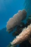 Ein heatlhy Beispiel einer Tabellen-Koralle Stockbilder
