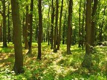 Ein heißer Nachmittag in einer Lichtung, verwelkte Anlagen mit verbogenen hellgrünen Blättern Hintergrundwald Stockfotografie