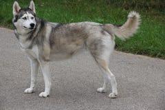 Ein heiserer Hund, der draußen skeptisch schaut Lizenzfreie Stockfotos