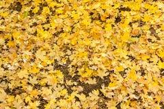 Ein hell farbiger Teppich von gelben Ahornblättern im Herbst lizenzfreie stockfotos