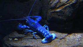 Ein heller blauer Hummer bewegt sich unter Wasser stock video footage