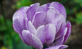 Ein heller purpurroter Garten der Tulpe im Frühjahr nach Regen Lizenzfreie Stockfotos