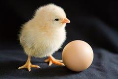 Ein hellgelbes Küken steht nahe bei einem Ei auf einem schwarzen Hintergrund Lizenzfreie Stockbilder