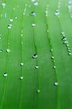 Ein hellgrünes Blatt der Bananenpalme mit Adern und Regentropfen Cl Lizenzfreie Stockfotos
