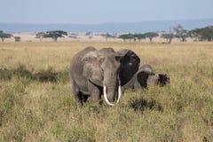Ein herangewachsener männlicher Elefant, der seine Herde schützt Lizenzfreie Stockfotos