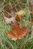 Ein Herbst-Ahornblatt im Gras Stockbild