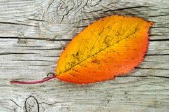 Ein Herbst farbiges Blatt Stockfotografie