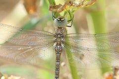 Ein Herbst-Mosaikjungfer-Dragonfly Aeshna-mixta hockte auf einer Anlage Lizenzfreie Stockfotos