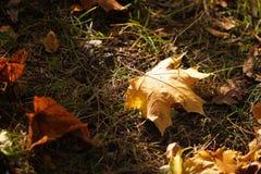 Ein Herbstahornblatt, das zu Boden fällt und wurde durch einen Sonnenstrahl, eine Farbe und ein Licht des Herbstes geschlagen Kon Stockfotos