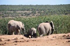 Ein herde von Elefanten an einem waterhole Trinkwasser an einem sonnigen Tag in Addo Elephant Park in Colchester, Südafrika Lizenzfreie Stockfotos