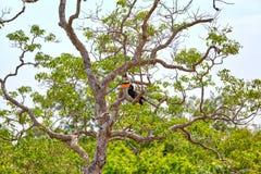 Ein herrlicher großer indischer Hornbill, exotisch Vogel in den Tropes von der Familie der Hornbills stockbilder
