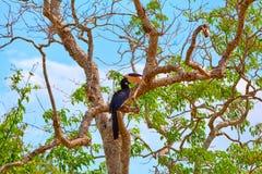 Ein herrlicher großer indischer Hornbill, exotisch Vogel in den Tropes von der Familie der Hornbills stockbild