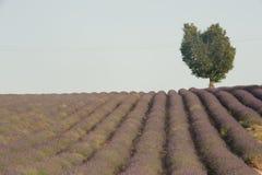 Ein Herz-förmiger Baum sitzt auf einem Hügel eines Lavendelbauernhofes Lizenzfreie Stockbilder
