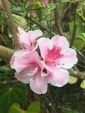 Ein Hibiscus in einem Garten stockbild