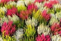 Ein Hintergrund der mehrfarbigen blühenden Heide Stockbilder