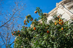 Ein Hintergrund mit Orangenbaum Lizenzfreie Stockbilder