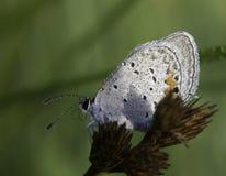 Ein hintergrundbeleuchteter gefrorener Schmetterling mit Wassertröpfchen auf Flügeln im m Lizenzfreies Stockbild